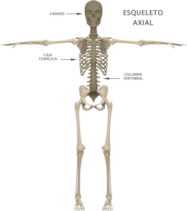 ESQUELETO AXIAL – Yoga Notebook