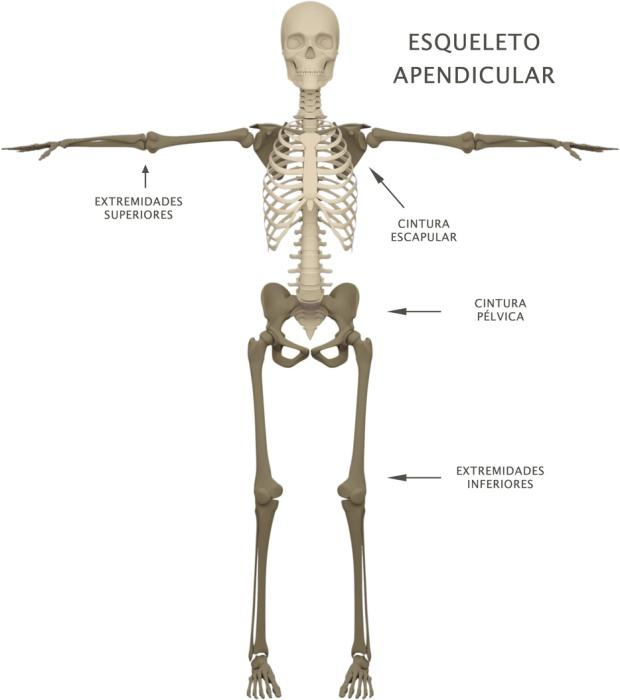 ESQUELETO APENDICULAR – Yoga Notebook